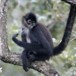 Central American Spider Monkey or Geoffroys spider monkey, Atele — Stok Fotoğraf #37399349