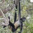 Central American Spider Monkey or Geoffroys spider monkey, Atele — Stok Fotoğraf #37399351
