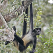 Central American Spider Monkey or Geoffroys spider monkey, Atele — Stock fotografie