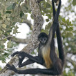 Stock Photo: Central AmericSpider Monkey or Geoffroys spider monkey, Atele