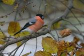 Bullfinch, Pyrrhula pyrrhula — Stock Photo