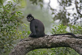 Central American Spider Monkey or Geoffroys spider monkey, Atele — Stock Photo