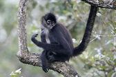 Central American Spider Monkey or Geoffroys spider monkey, Atele — Stock Photo