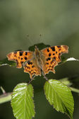 Comma butterfly, Polygonia c-album — Stock Photo