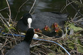 Coot, Fulica atra — Stock Photo