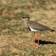 Stock Photo: Crowned plover, Vanellus coronatus