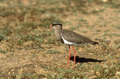 Crowned plover, Vanellus coronatus — Stock Photo