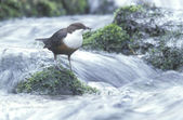 Dipper, Cinclus cinclus — Stock Photo