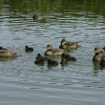 Eider duck, Somateria mollissima — Stock Photo #37646953
