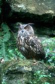 Eagle owl, Bubo bubo — Stock Photo