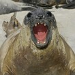 Southern elephant seal, Mirounga leonina, — Stock Photo #37676057