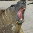 Southern elephant seal, Mirounga leonina, — Stock Photo #37676067