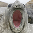 Southern elephant seal, Mirounga leonina, — Stock Photo #37676097