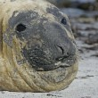 Southern elephant seal, Mirounga leonina, — Stock Photo