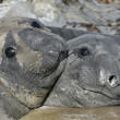 Stock Photo: Southern elephant seal, Miroungleonina,