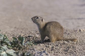 European ground squirrel, Citellus citellus — Stockfoto