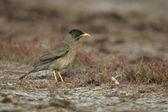 Falklands thrush, Turdus falcklandii falcklandii — Stock Photo
