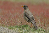 Falklands thrush, Turdus falcklandii falcklandii — Stock Photo