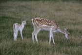 Fallow deer, Dama dama, — Stock Photo