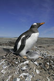 Gentoo penguin, Pygoscelis papua — Stock Photo
