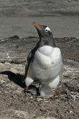 Gentoo penguin, Pygoscelis papua — Stock Photo