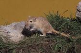 Mongolian gerbil, Meriones unguiculatus — Stock Photo