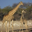 Stock Photo: Giraffe, Giraffcamelopardalis