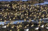 Golden plover, Pluvialis apricaria — Stock Photo