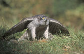 Goshawk, Accipiter gentilis — Stock Photo