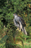 Goshawk, Accipiter gentilis — Stock Photo