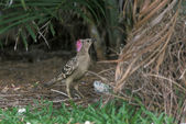 Great bowerbird, Chlamydera nuchalis — Stock Photo