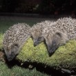 Stock Photo: Hedgehog, Erinaceus europaeus