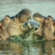 Stock Photo: Hippopotamus, Hippopotamus amphibius