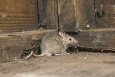 House mouse, Mus musculus — Stock Photo