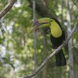 Stock Photo: Keel-billed toucan, Ramphastos sulfuratus
