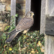 Kestrel, Falco tinnunculus — Stock Photo #37896215
