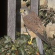 Kestrel, Falco tinnunculus — Stock Photo