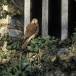 Stock Photo: Kestrel, Falco tinnunculus