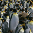 King penguin, Aptenodytes patagonicus — Stock Photo #37896307