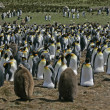 King penguin, Aptenodytes patagonicus — Stock Photo #37896319