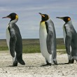 Stock Photo: King penguin, Aptenodytes patagonicus