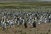 King penguin, Aptenodytes patagonicus — Stock Photo