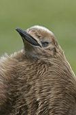King penguin, Aptenodytes patagonicus — Stock Photo