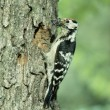 Stock Photo: Lesser-spotted woodpecker, Dendrocopos minor