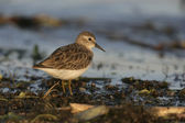 Least sandpiper, Calidris minutilla, — Stock Photo