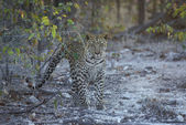 Leopard, Panthera pardus — Stock Photo