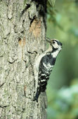Lesser-spotted woodpecker, Dendrocopos minor — Stock Photo