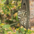 Stock Photo: Little owl, Athene noctua