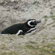 Stock Photo: Magellanic penguin, Spheniscus magellanicus