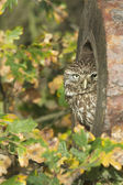 Little owl, Athene noctua — Stock Photo